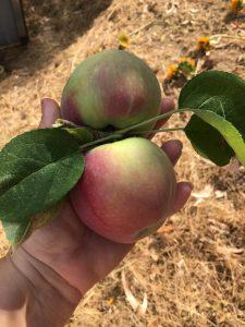 terra sophia apples