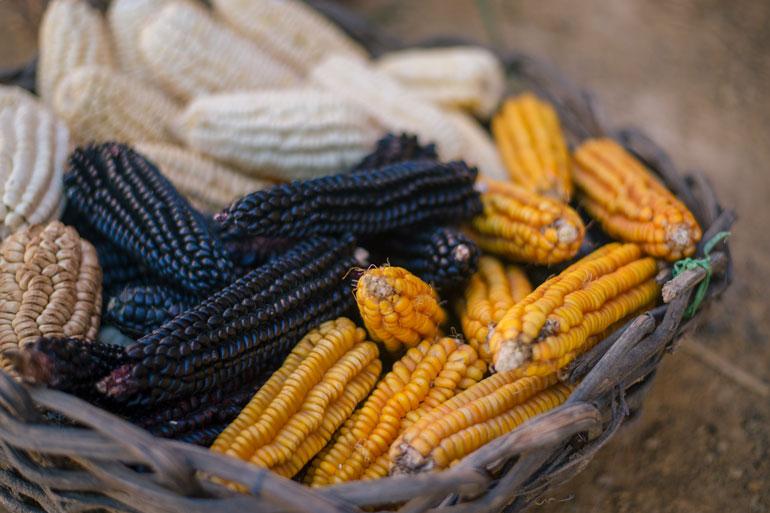 Native American Corn